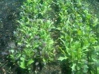 Baby Leaf Lettuce