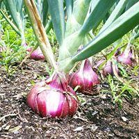 onioninground